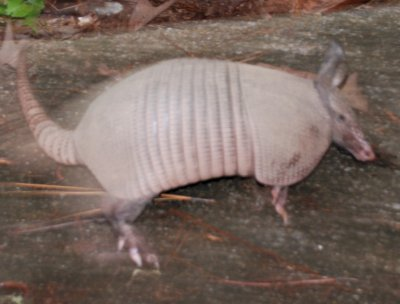 armadillo jumped