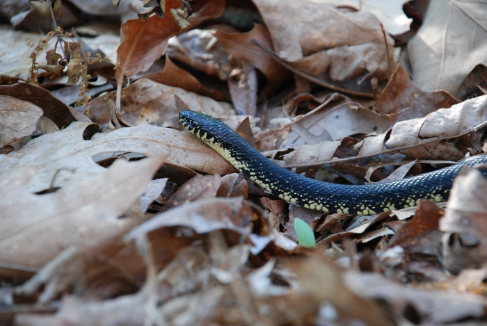 king snake in leaf litter
